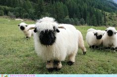Valais Blacknose Sheep by Niels Kuppens: Too cute! Walliser Schwarznasenschaf is a breed of domestic sheep originating in the Valais region of Switzerland.--they look like Sean the Sheep! Cute Baby Animals, Animals And Pets, Funny Animals, Wild Animals, Beautiful Creatures, Animals Beautiful, Valais Blacknose Sheep, Cute Sheep, Funny Sheep