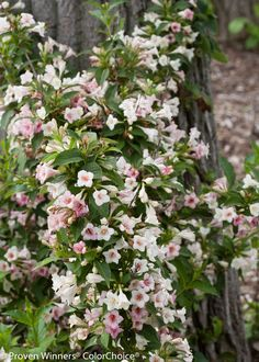 Sonic Bloom Pearl #Weigela, from #ProvenWinners, has the strongest reblooming that we've ever seen in Weigela. #Flowers open a pure white with a yellow throat. They then change to a soft pink. This gives you multiple colored flowers all over the same plant. The bright green foliage really makes the flowers shine, too.