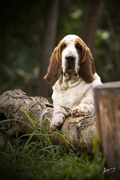 Canil Pan Clan - Basset Hound by Johnny Fotoanimal, via Flickr