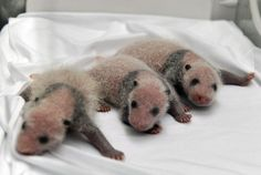 China announced Tuesday the birth of extremely rare panda triplets in a further success for the country's artificial breeding program. (AP photo)