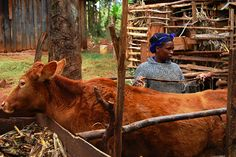 Joanina Kivuti and Cow by haskinsjeff, via Flickr Goats, Cow, Gallery, Pictures, Animals, Photos, Animales, Roof Rack, Animaux