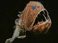 Photo by David Wrobel    The nightmarish fangtooth fish is among the deepest-living fish ever discovered. Can be found in the icy, crushing depths near 16,500 ft. They have, proportionately, the longest teeth of any fish, but the fish doesn't grow bigger than 6 in long.