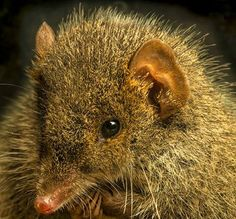 Black-Tailed Antechinus: New Marsupial Discovered in Australia