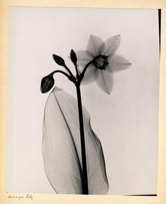 A 1930s Radiographer Produced Beautiful X Ray Images Of Flowers Like This Amazon Lily
