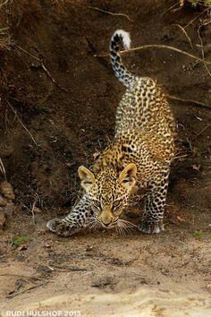 Leopard descending