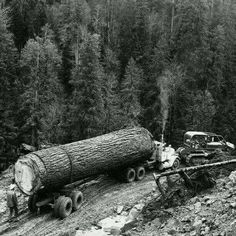 your photo is really very good. Tree Logs, Old Trees, Giant Tree, Big Tree, Old Pictures, Old Photos, Timber Logs, Logging Equipment, Heavy Equipment
