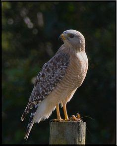 Redshoulder Hawk at Viera Kestrel, Vulture, Birds Of Prey, Kite, Beautiful Birds, Bald Eagle, Galleries, Wildlife, Owl