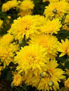 Yellow Cushion-form Mum