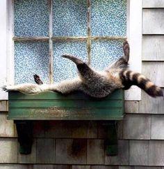 Just a raccoon sleeping in a window box