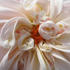 "Dinnerplate Dahlia ""Cafe au Lait"""