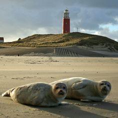 waddeneilanden zeehond - Google zoeken