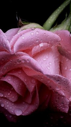 1080x1920 Wallpaper rose, flower, drops, petals