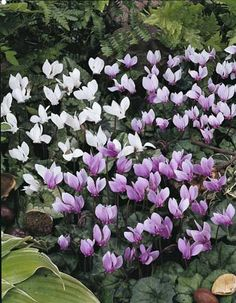 Cyclamen hederifolium AGM - 7 mixed leaved forms. For the dry deep shade at back of apple trees.