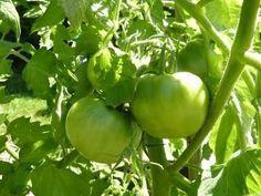 Heirloom Tomato Plants, Heirloom Tomatoes, Planting Vegetables, Organic Vegetables, Veggies, Recipe For Green Tomato Pie, Pickled Green Tomatoes, Cherry Tomatoes, Tomato Farming