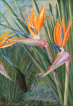 365. Strelitzia and Sugar Birds, South Africa. botanical print by Marianne North