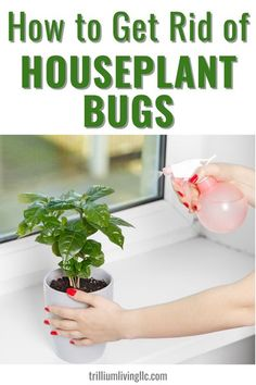 This contains: Photo of a plant on a window sill with ladys hands holding a pink spray bottle. Text overlay: How to Get Rid of Houseplant Bugs