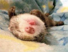 Sweet ferret.