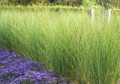Zona fitodepurazione o dove può servire: Miscanthus sinensis 'Gracillimus' (winterhart). Miscanthus Sinensis Gracillimus, Tall Ornamental Grasses, Tall Grasses, Landscape Design, Garden Design, Fence Landscaping, Shade Plants, Lawn And Garden, Champs
