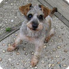 Haskell, NJ - Ohio Hound Rescue East Coast (AKA Three Sisters), Schnauzer (Miniature)/Poodle (Miniature) Mix. Meet Mick Jagger: 9 pounds, a dog for adoption. http://www.adoptapet.com/pet/10849643-haskell-new-jersey-schnauzer-miniature-mix