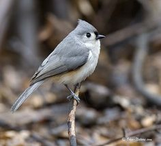 Tufted Titmouse, saw one of these cuties sitting on our porch.