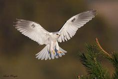 White-tailed Kite (Birds of Prey, Kites)