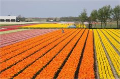 The Most Beautiful flower fields, Lined up in long stretches across the Dutch fields | AMAZING WORLD - Part 5
