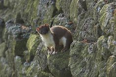Stoat, This image of a stoat under sunny skies shows is a picture of curiosity from its delicate high perch. Its stark white neck contrasts well with the dark brown fur on the back to give it an exotic look.