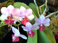 Doritaenopsis-Liu-s-Triprince-Doritaenopsis-Eduardo-Quisumbing-x-Phalaenopsis-lobbii