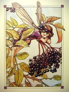 The Elberberry Fairy ~ Cicely Mary Barker