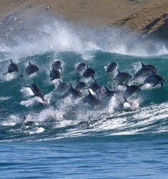 #Dolphins surfing the waves
