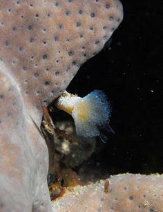 Cute little ascidian colony @ night Magic Reef Sceale Bay SA 24-02-2009   Underwater photographer:  David Muirhead