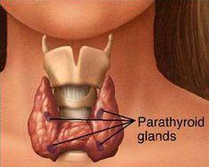 parathyroid glands are behind the thyroid gland Thyroid Nodules, Underactive Thyroid, Thyroid Cancer, Thyroid Hormone, Thyroid Health, Hypothyroidism, Fatigue Surrénale, Norman, Parathyroid Disease