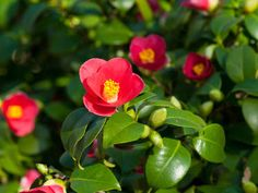 Camellia: planting, pruning and maintenance tips - Camélia : plantation, taille et conseils d'entretien Camellia: maintenance, pruning and care of camellias Comment Planter, Camellia Oil, Photo Link, Acne Remedies, Garden Care, Plantation, Best Face Products, Horticulture, Aloe Vera