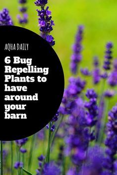 6 bug repelling plants to plant around your barn. These plants will naturally repel mosquitoes, flies and other insects. #barnhacks