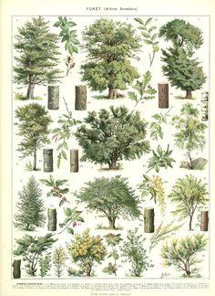 1936 Illustration botanique vintage Images d'arbres page de dictionnaire image de fôret vintage Images de jardins