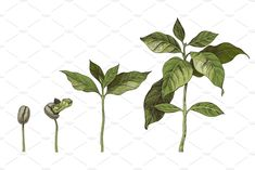 Hand drawn coffee design kit is a set of coffe plants, beans, designs and seamless patterns. EPS JPG (not less than 5000 px by min side 72 dpi) and PNG Tree Illustration, Graphic Illustration, Coffee Infographic, Coffee Plant, Bird Tree, Plant Growth, Coffee Design, Environmental Art, Plant Design