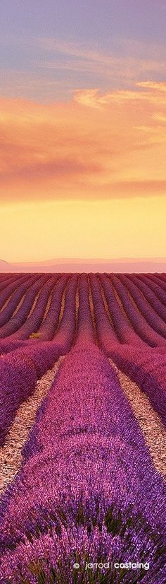 Sunset over lavender fields, Valensole, Provence, France