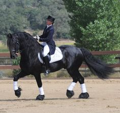 Friesian Stallion Photo Gallery | Monte 378 Sport
