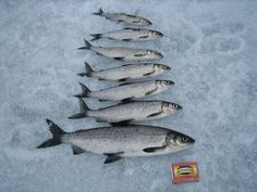Whitefish in different sizes