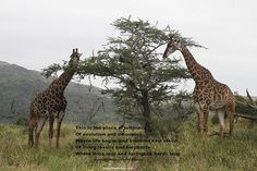 This is the place of wildness Of evolution and dinosaurs Where life began and mankind first stood Of living fossils and elephants Where lions roar and springbok herds leap ===================================== Poetry In Motion..... I know a place in Africa... More inspiring poetry written by Wayne Visser, a South African currently based in Nottingham, UK. Photographs - Joan Stewart http://blogbizbuzz.com