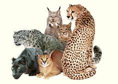 Wild cats many species
