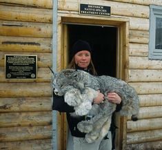 Beautiful Lynx at Colorado's Dieterich Native Species Treatment center. (Yes, he's tranquilized at the moment). Holy moly, look at the size of those paws!