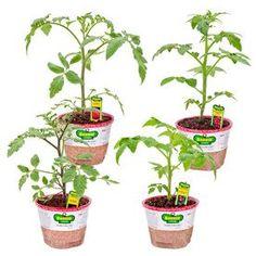 Bonnie Plants 2.32 Qt. Tomato-Celebrity-0219 - The Home Depot