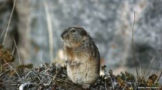"""Collared lemming (Dicrostonyx torquatus) became """"regionally extinct"""" five times due to rapid climate change during the last Ice Age, scientists have found. Rodents, Hamsters, Wipe Out, Ice Age, Climate Change, Arctic, Mammals, Wildlife, Thoughts"""