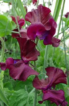 Windsor sweet pea sold by Owls Acre Seeds