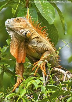 The iguanas can often be found lounging on tree branches, soaking up the sun.