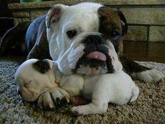 Un Bouledogue anglais et son bébé