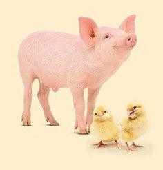 Piglets and chicks can be a healthy source of food and income for families struggling with poverty. Give piglets for protein and chicks for eggs today: https://catalogue.worldvision.ca/collections/animals/products/3616 #MeaningfulGifts