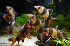 "x8 CLOWN LOACH SMALL 1"" - 1 1/2"" -  FISH FRESHWATER - FREE SHIPPING.  Clown loaches have a typical loach body shape, with a long, pointed nose  complete with sensing barbels. There is also a third narrow black band  that runs vertically through the eye. The tail fin and all of the paired  fins are red."