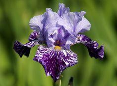 Tall Bearded Iris 'Millennium Falcon' by Konstantin Slobodchuk on 500px